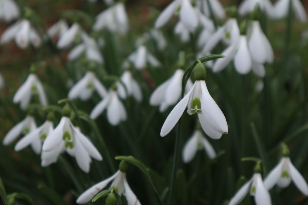 winter snow drops