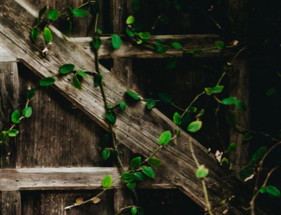 Broken wooden fence with creeper vines overgrown around it