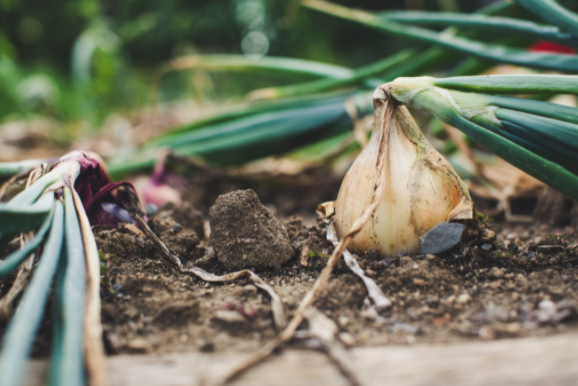 Onion on top of dirt
